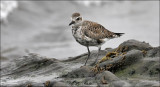 Black-bellied Plover, prealternate