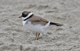 Semipalmated Plover, alternate adult