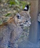 young Bobcat (2 of 3)