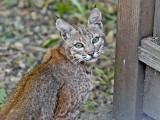 young Bobcat (1 of 3)