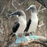 Blue-footed Boobies, adult pair