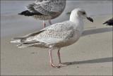 Presumed Glaucous-winged x Herring Gull hybrid, 1st cycle (1 of 2)