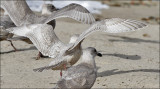 Glaucous-winged x Herring Gull hybrid, 1st cycle (2 of 2)