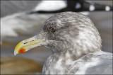 Glaucous-winged x Herring Gull hybrid, non breeding adult (2 of 2)
