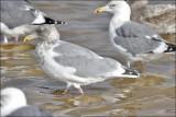Glaucous-winged x Herring Gull hybrid, nonbreeding adult (1 of 2)