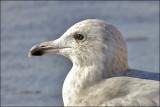 Glaucous  x Herring Gull hybrid (2 of 3)