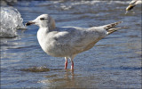 Glaucous  x Herring Gull hybrid (3 of 3)