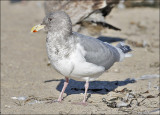 Glaucous-winged x Western Gull, adult cycle