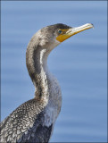 Double-crested Cormorant, immature