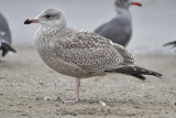 Presumed Glaucous-winged x Herring Gull, juvenile (1 of 2)