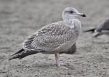 presumed Glaucous-winged x Herring Gull, juvenile (2 of 2)