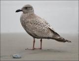 Probable Glaucous-winged x Herring Gull hybrid, juvenile