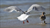Glaucous-winged x Western Gull. Pre Basic adult