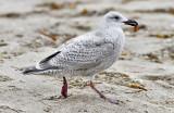 Glaucous-winged x Herring Gull, juvenile