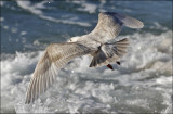 Glaucous-winged x Western Gull hybrid, 2nd cycle