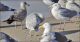Kumlien's Iceland Gulls in California