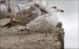 possible Glaucous-wiinged x Herring Gull, 1st cycle (1 of 2)