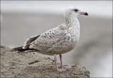 possible Glaucous-winged x Herring Gull (2 of 2)