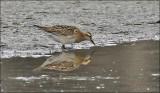 Sharp-tailed Sandpiper, Juvenile (1 of 3)