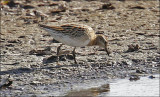 Sharp-tailed Sandpipere, juvenile (2 of 3)