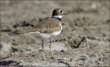 Killdeer, adult