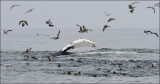 Humpback Whale pectoral desplay