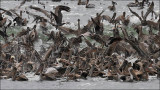 Brown Pelicans with Heermann's Gulls