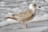 Glaucous-winged x Herring Gull hybrid, 1st cycle