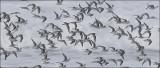 Sanderlings (2 of 2)