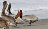 Brown Pelican, adullt in alternate plumage (1 of 2)