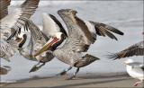 Brown Pelican adult in alternate plumage (2 of 2)