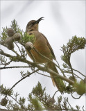 California Thrasher (1of 2)