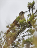 California Thrasher (2 of 2)