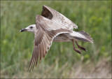 Glaucous-winged x Western Gull, 1st cycle