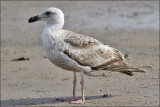 Glaucous-winged x Western Gull (Olympic)
