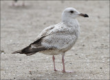 Poss Glaucous-winged x Western Gull, 1st cycle