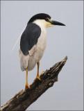Black-crowned Night Heron, alternate adult