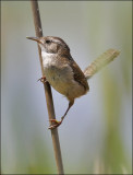 Marsh Wren (1 of 4)