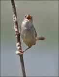 Marsh Wren (3 of 4)