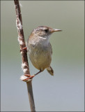 Marsh Wren (4 of 4)
