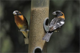 Black-headed Grosbeaks, breeding males