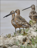 presumed Long-billed Dowitcheres (1 of 2)