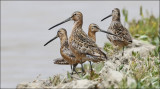 presumed Long-billed Dowitchers (2 of 2)