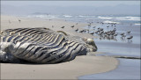 Humpback Whale carcass (3 of 3)