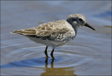 Western Sandpiper, pre basic adult