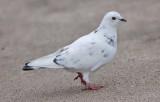 Rock Pigeon, leucistic plumage