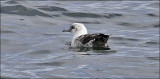 Black-vented Shearwater, pied plumage