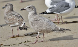 Glaucous-winged x Herring Gull, 1st cycle (1 of 2)