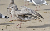 Glaucous-winged x Herring Gull, 1st cycle (2 of 2)