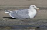 Glaucous-winged x Herring Gull, prealternate adult (1 of 2)